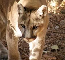 103002 Cougar Sid 45