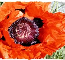 Poppy Full Bloom