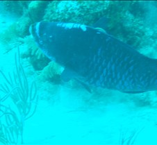 Midnight blue parrott fish