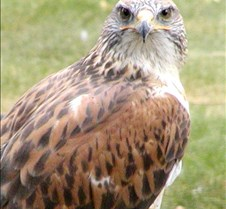 062802 Ferruginous Hawk 46