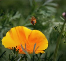 Bees & Poppies 3