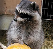 110602 Raccoon Ruby 105