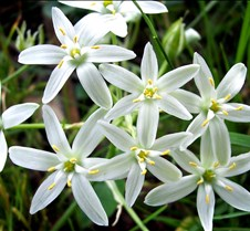 Star-of-Bethlehem2