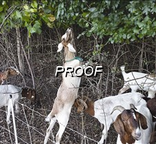 goat-herd-eating buckthorn