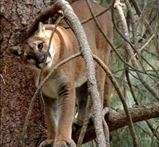 072403 Cougar Katrina 08