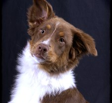 Aussie-puppy-1