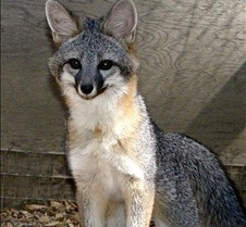 091102 Gray Fox Juvenile 97