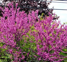 purpletree2008