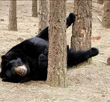 051004 Black Bear Janie 26
