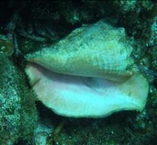 A conch Shell