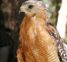091703 Red Shouldered Hawk 179