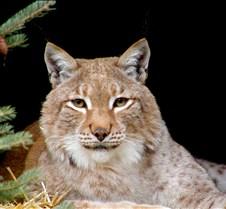 120404 Eurasian Lynx Nikki 58