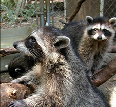 072402 Raccoon Juveniles 114 MK