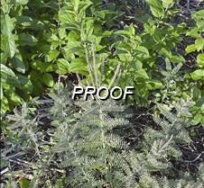 Lead plant also known as prairie shoestr