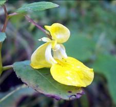 yellowtouchmenot