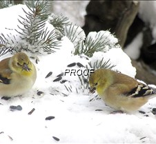 Goldfinch 2 (2)