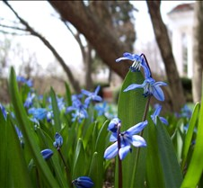 siberian squill 1