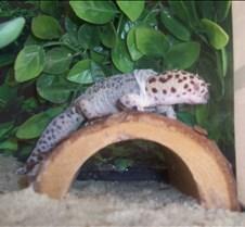 Shedding Gecko Jasmine, My Leopard Gecko