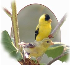 Goldfinch_Male_Female