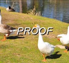03-05-13_Ducks04