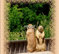 Prarie dog watch