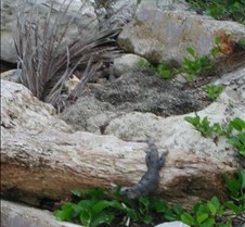 iguana lunching at Journey's End
