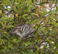 Partridge+in+a+Pear+Tree
