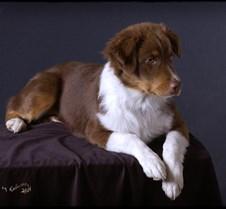Aussie-puppy-2