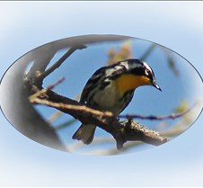 Yellow-throated_Warbler_glancing_down