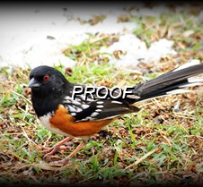 026  Spotted Towhee