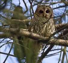 Owl 003