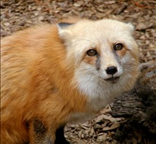 101503 Red Fox Winona 168