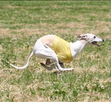 Whippets_8July_Run2_Course4_5004CR