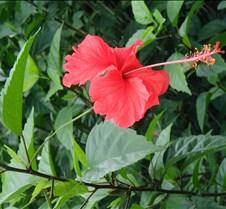 PV_cariblue_hibiscus