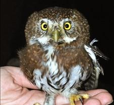 111903 Pygmy Owl 04