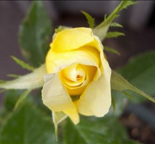 yellow_rosebud