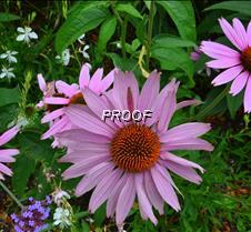 Echinacea Magnus2