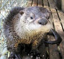 062602 River Otter Juvenile 27