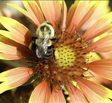 bumble bee 0010.jpg