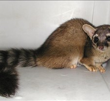122904 Ring Tailed Cat 96