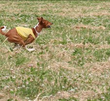 Basenjis_8Jul_Run2_Course2_5188CR2