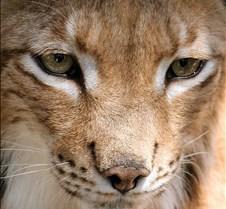 072402 Eurasian Lynx 103