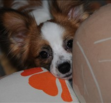 Cosmo Our new Papillon