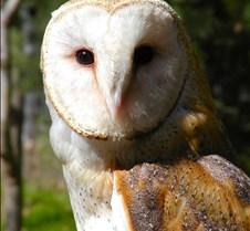 031504 Barn Owl Petrie 73