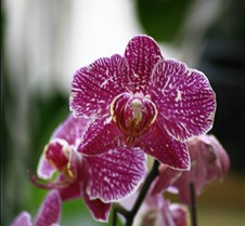 Big Island Orchid Varieties 9