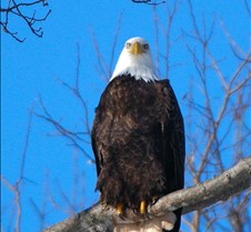Bald Eagles Bald Eagles Sheffield Mills N.S.