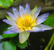May 15, 2015 Waterlily