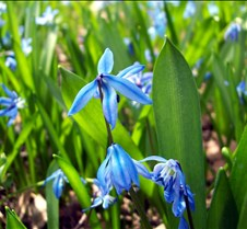 siberian squill 2