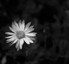flowerblackandwhite3