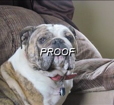 Purebred English Bulldog